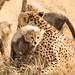 Cheetah_Amani_Cub by Kalidas Pavithran