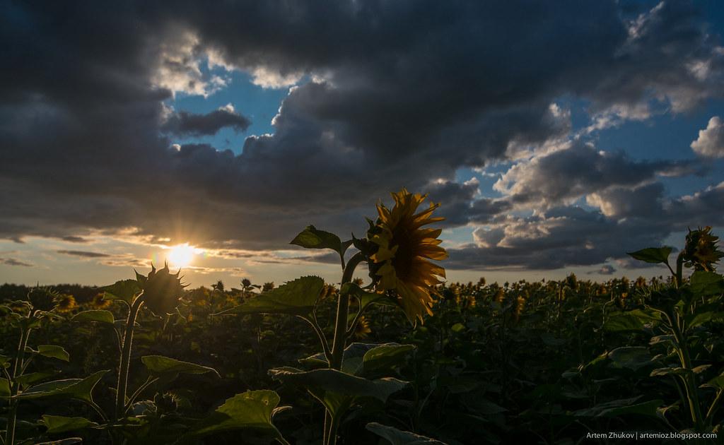 Sunflowers-5.jpg