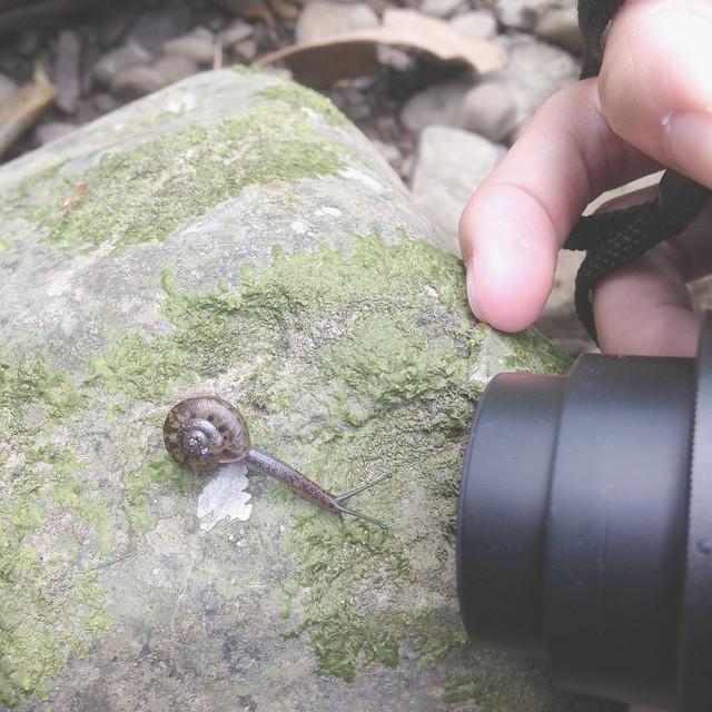 台灣本土扁蝸牛