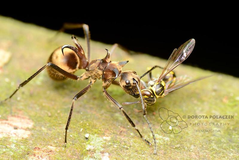 Fish hook ant (Polyrhachis ypsilon)
