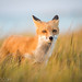 Fox_4251 by Eric Hance
