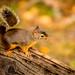 Douglas Squirrel 道格拉斯松鼠 by T.ye