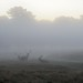 Stags in the mist at dawn