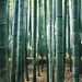 Bamboo Forest by Chapel Nathan