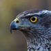 Northern goshawk  - Habicht by pe_ha45