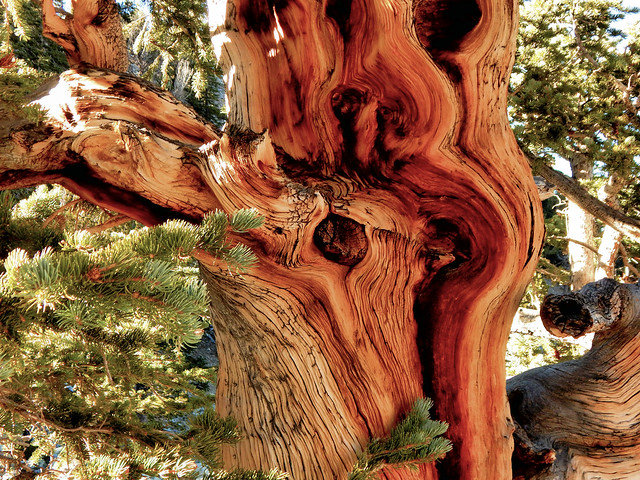 Bristlecone Pine GB NP