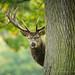 Red Deer Behind Tree by Old-Man-George