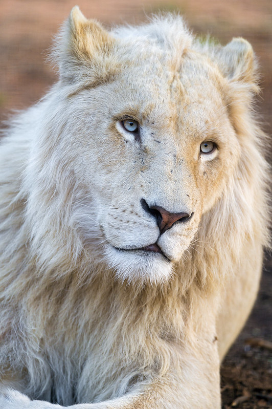 Melancholic and pretty white lion