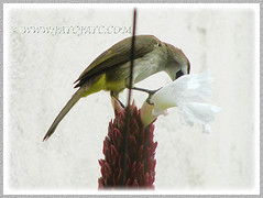 Pycnonotus goiavier (Yellow-vented Bulbul) enjoying nectar from White Costus, Oct 19 2015