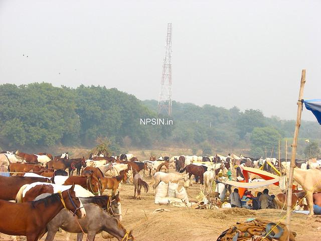 Animal Fair: Horse Fair: Biggest and Largest Cattle / Animal Fair of North India