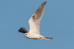 IMG_6907.jpg White-tailed Kite, Antonelli Pond, Santa Cruz