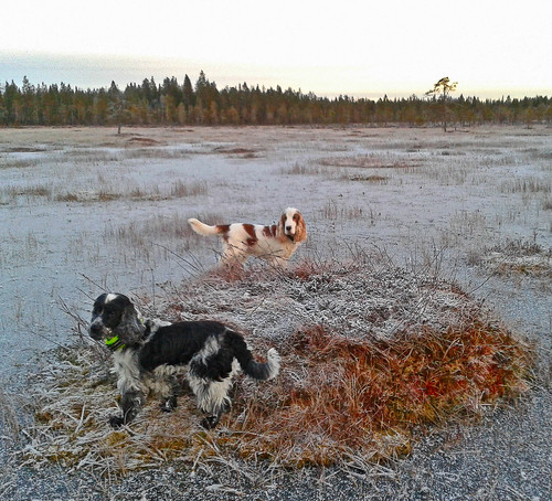 Dogs on the frozen swamp