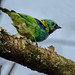 Green-headed Tanager by catchlightdon