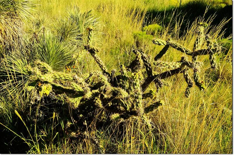 Cone Cholla Cactus 2