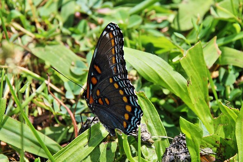 IMG_5890_Red-Spotted_Purple_Butterfly