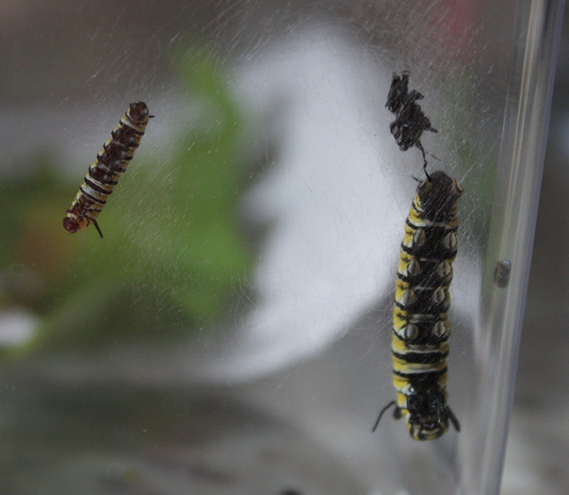 two caterpillars molting on the side of a plastic container