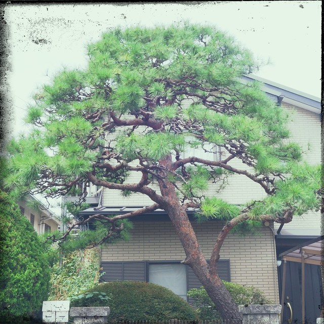 Pine tree in front of a house