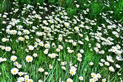 Daisies. A lot of! I love them! Unykaphoto Daisies Wildflowers Patagonia Argentina