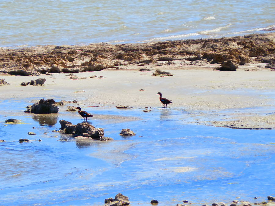 Shelducks on the Coorong, South Australia