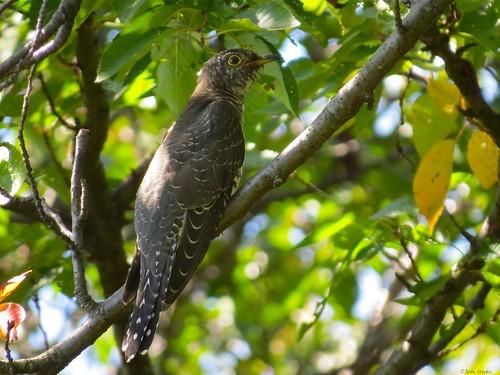 Common cuckoo. Juvenile