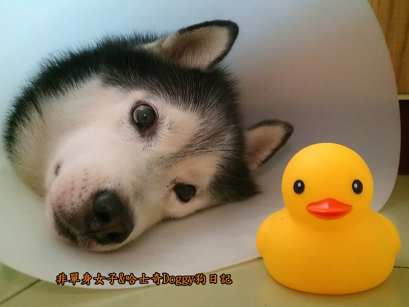 哈士奇doggy與啾啾玩具黃色小鴨09
