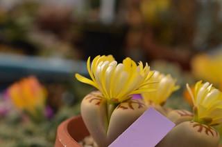 DSC_1492 Lithops dorotheae リトープス属 麗虹玉 (れいこうぎょく)