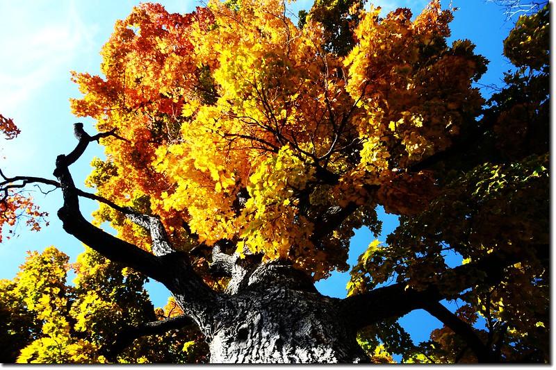 Sugar maple leaves (13)