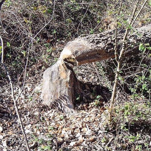 Busy #beavers felling trees in west #Tulsa #SightsofGeocaching #inthewoodssomewhere #nature