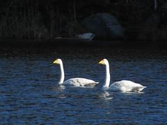 крупные,c:белые,s:водоплавающие,шея длинная
