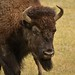 Yellowstone National Park - Bison by nebulous 1