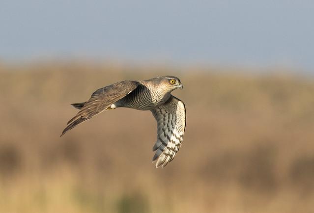 Sparrowhawk, Canon EOS 7D MARK II, Canon EF 300mm f/2.8L IS