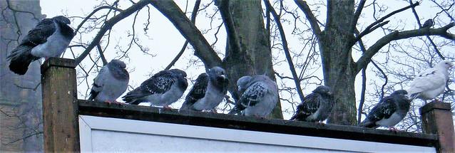 Southport, Lancashire --  pigeons