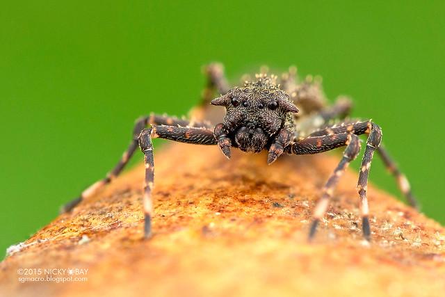 Turtle ant mimic crab spider (Bucranium sp.) - DSC_4281