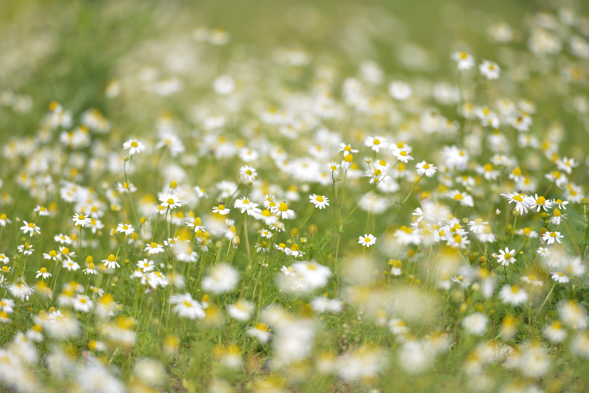 Lots Of Wild Daisies in A field With Narrow Focus 2