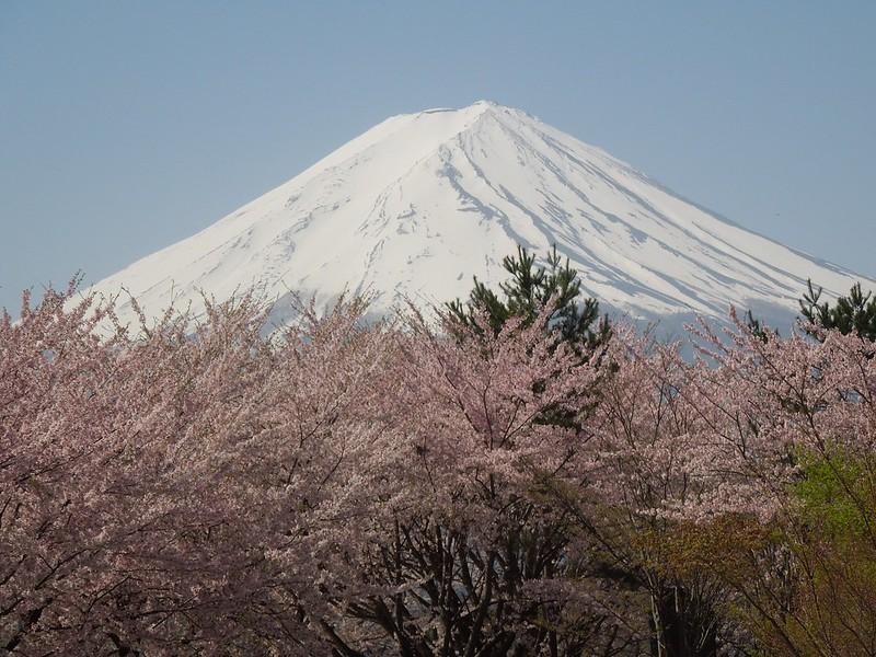 河口湖 富士山と桜 Lake Kawaguchiko – Mt. Fuji and cherry blossoms-0006