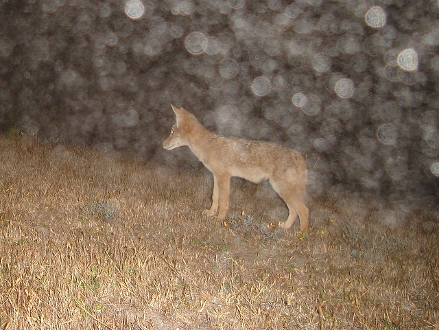 juvie coyote in fog