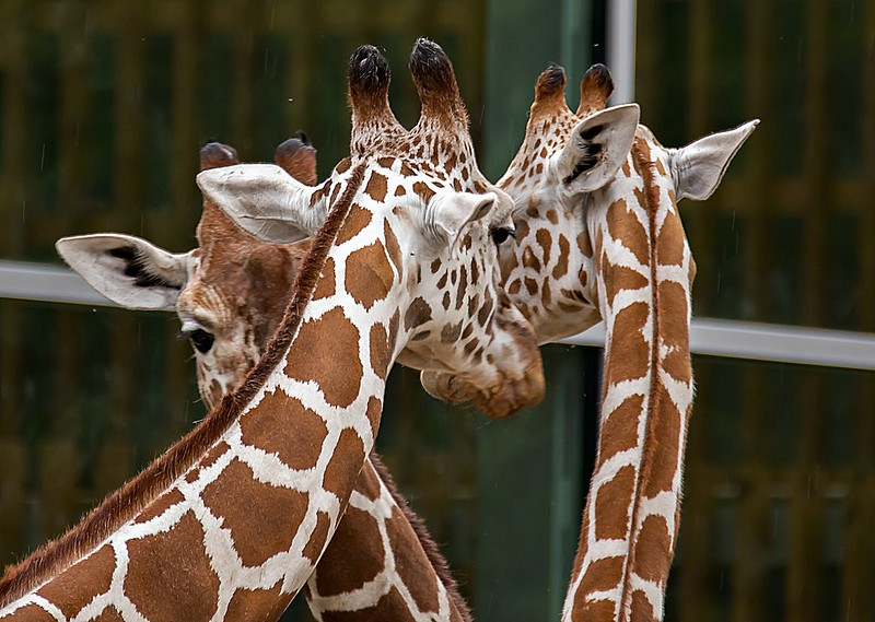 Münchner Giraffen