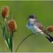 Eastern Kingbird by BN Singh