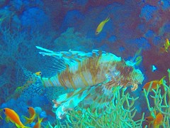 Lionfish in the red sea