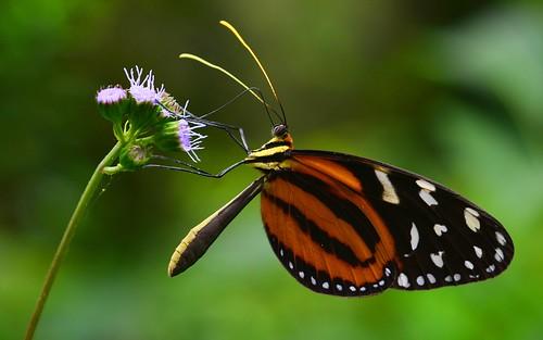 desktop forest butterfly insects jungle panama centralhighlands featured eucleatigerwing hypothyriseucleavalora santafé chiriquidistrict altodepiedraregion