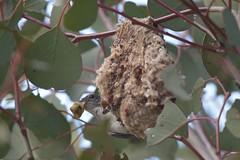 Mistletoebird ( cleaning )
