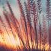 The sun sets on wild grass. by Lynn_L