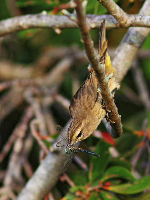 Palm Warbler with dragonfly 2-20151015