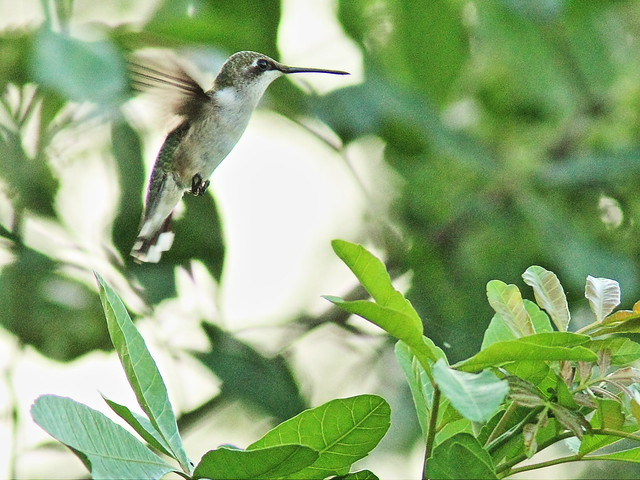 Ruby-throated Hummingbird 20151105