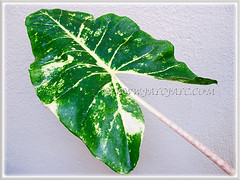 Beautiful leaf of Alocasia macrorrhizos 'Variegata' (Variegated Giant Alocasia/Taro, Variegated Upright Elephant Ears) Dec 10 2013