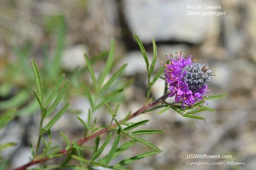 Gattinger's Prairie Clover, Purpletassels, Purple Tassels - Dalea gattingeri