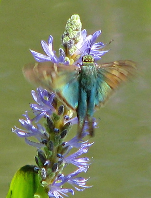 a flash of Long-tailed skipper