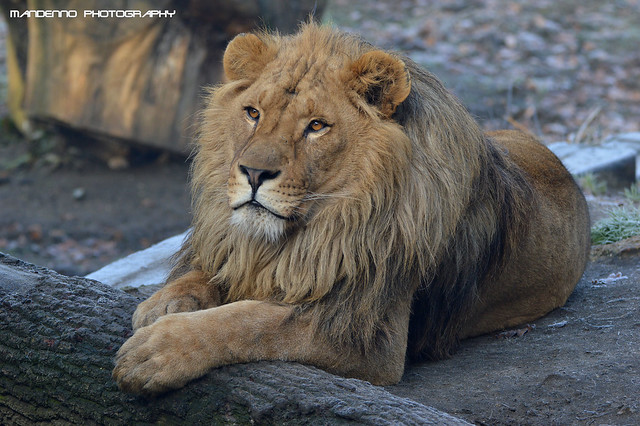 African lion - Olmense Zoo