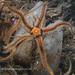 Black Brittle Star by Danygraig