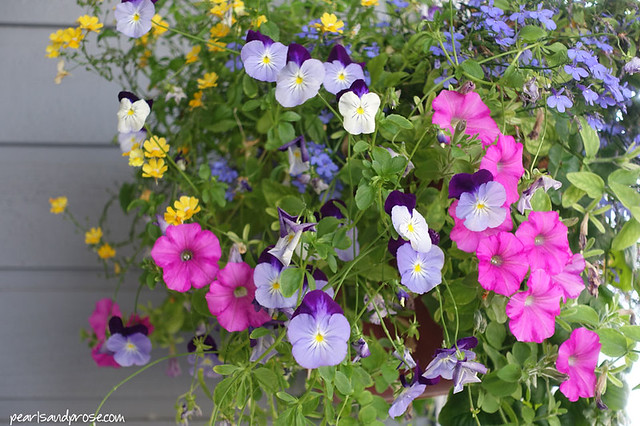 fairbanks_pansies_web